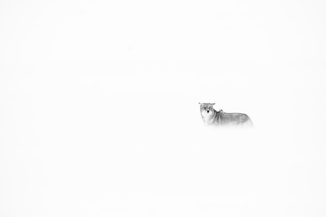 A coyote standing in blowing snow during a snowstorm in Grand Teton National Park.