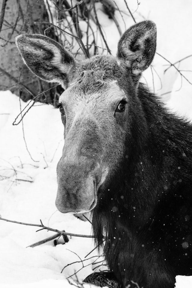 A cow moose lying down in the snow, looking towards the camera.