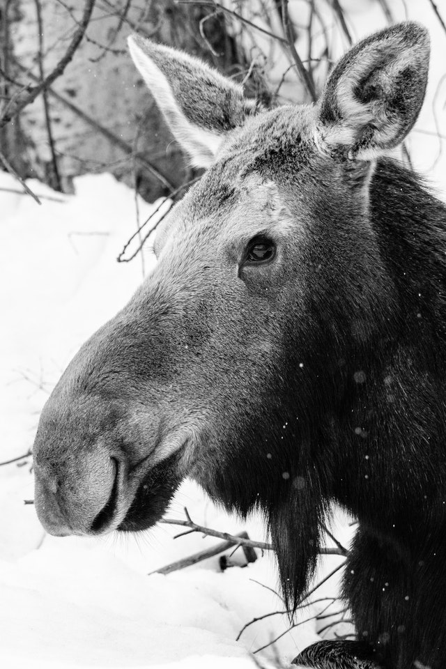 A cow moose lying down in the snow.