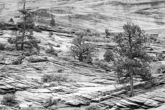 Pine trees and shrubs growing in a sandstone hillside near the Zion-Mount Carmel Highway.