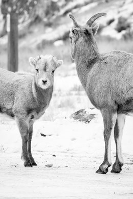 A bighorn sheep lamb standing next to an ewe at the National Elk Refuge. The lamb is looking towards the camera, and the ewe is looking away.