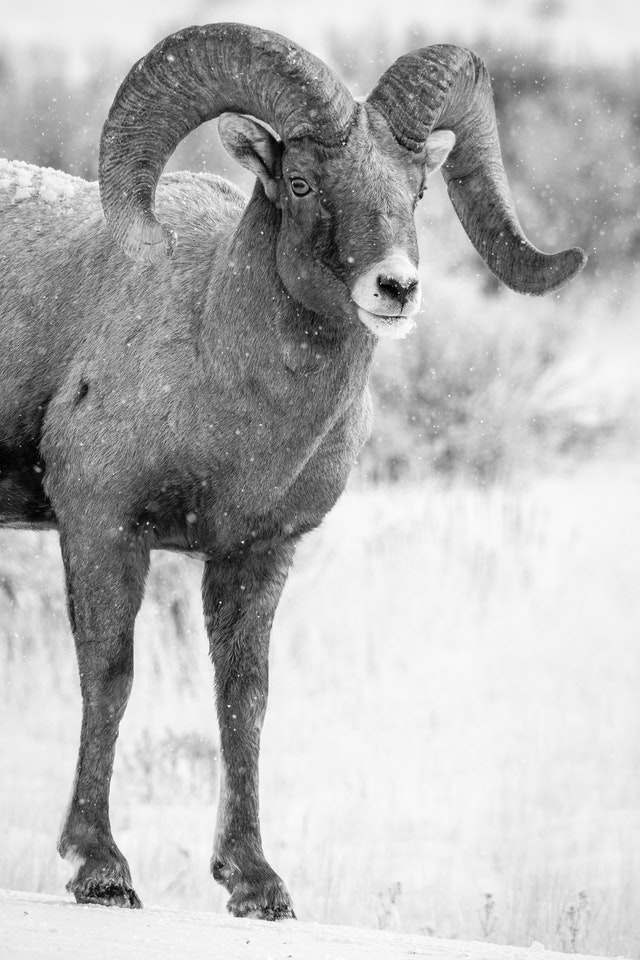 A bighorn ram standing on a snow-covered road, looking towards the camera.