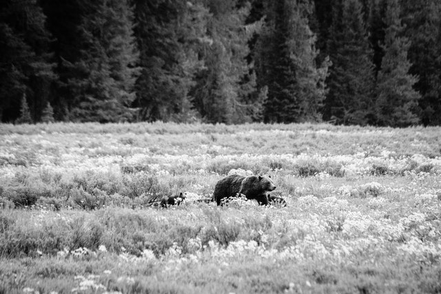 Grizzly 399 walking along a field covered in wildflowers, with her cubs in tow.