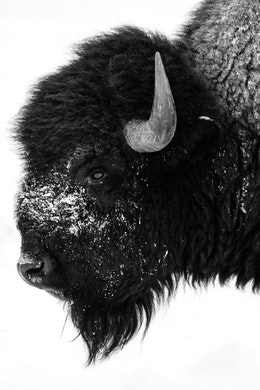 Side profile photo of a bison's head, with snow all over its muzzle.