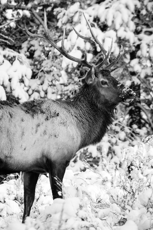 A bull elk, standing among snow-covered sage brush.
