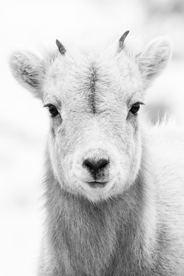 A close-up of a cute little bighorn sheep lamb looking straight at the camera.