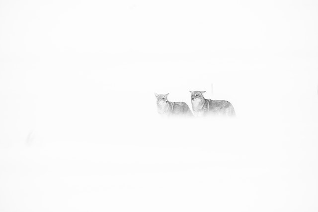 Two coyotes standing in blowing snow during a snowstorm in Grand Teton National Park.