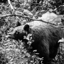 A cinnamon black bear sniffing some berry bushes.