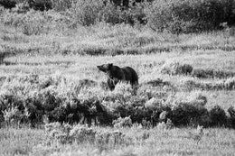 A female grizzly bear standing in a field.