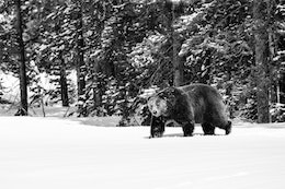 A male grizzly bear walking out of the woods at Grand Teton National Park.