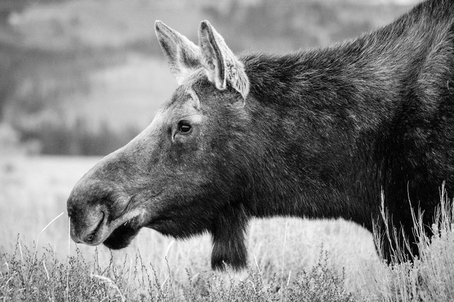 A portrait of a moose cow munching on some brush.
