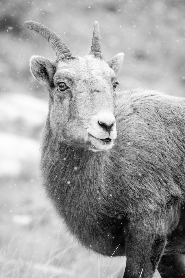 A portrait of a bighorn ewe in snowfall. Her head is turned towards the camera.