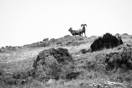 Two bighorn sheep rams standing on a ridge at the top of Millers Butter at the National Elk Refuge.