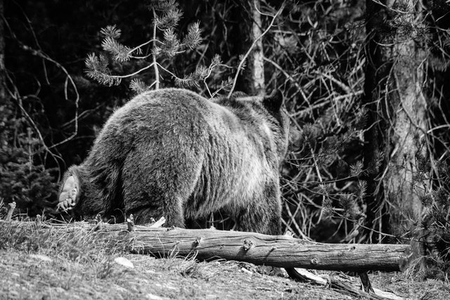 A grizzly bear walking through the woods next to a fallen tree. The bottom of her hind left foot can be seen as she walks away from the camera.