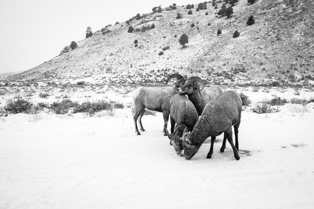 Four bighorn sheep huddling on the road at the National Elk Refuge, with Millers Butte in the background.