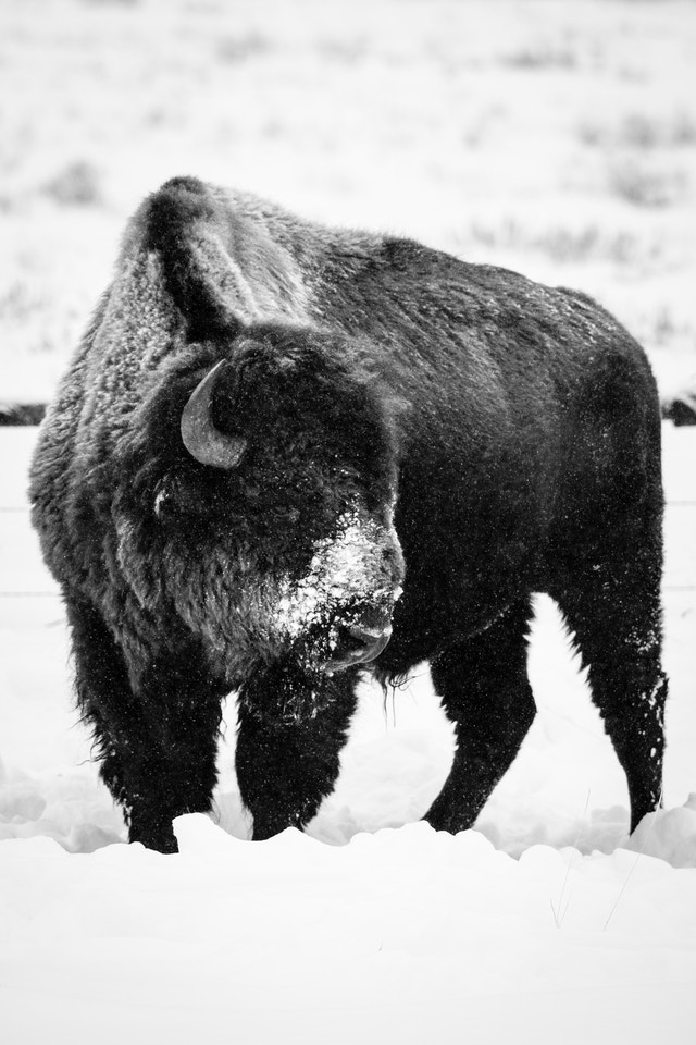 A bison with a snow-covered snout standing in the snow, looking to the side.