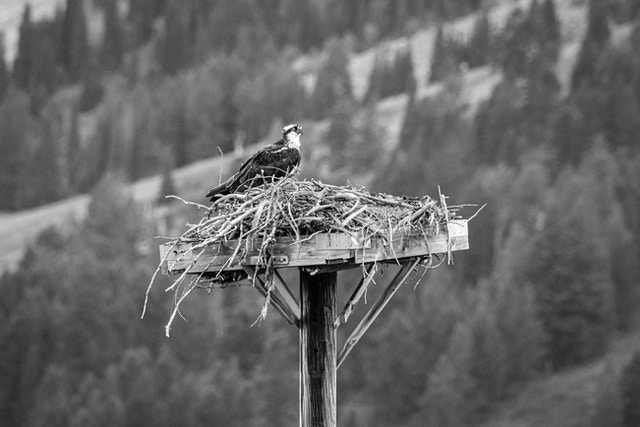 An osprey sitting on its nest at the top of a wooden platform at Grand Teton National Park.