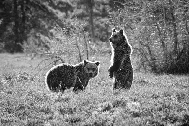 Two juvenile grizzly bears at Grand Teton National Park. The one on the left is looking to its right, and the one on the right is standing on two legs.