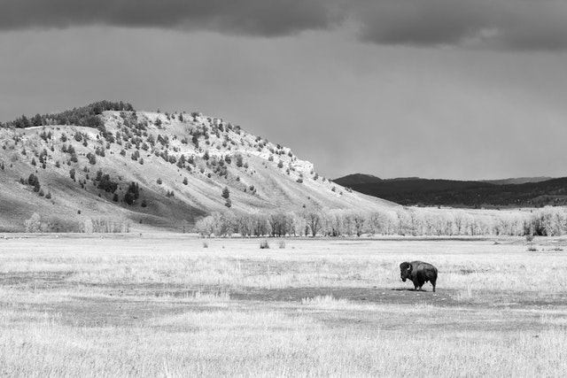 A bison standing at the Elk Ranch Flats, with a line of trees and a butte in the distance, beneath dark storm clouds.