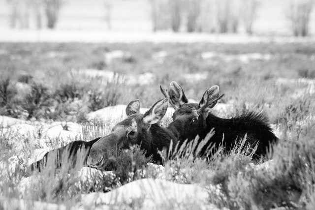 A cow moose and a bull moose bedded down in the snow-covered sagebrush of Antelope Flats.