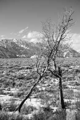 Two trees leaning against each other at Antelope Flats, with the Tetons in the background.