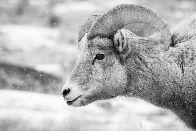 A profile protrait of a bighorn sheep during snowfall.