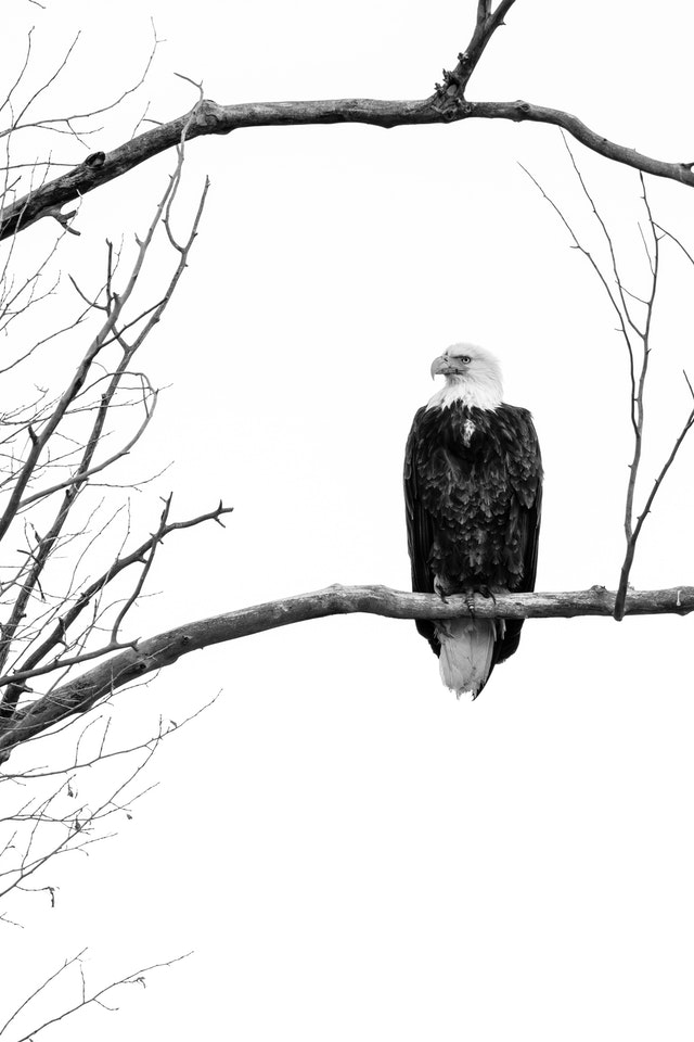 A bald eagle sitting on a bare branch at Grand Teton National Park.