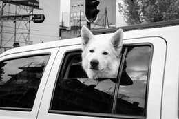 A good dog popping his head out of a car stopped at a traffic light in Mexico City.