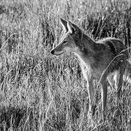 A young coyote standing in the grass. Its fur is a little wet.
