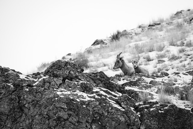 A bighorn sheep ewe with a lamb, resting at the top of a rock at Millers Butte, in the National Elk Refuge.