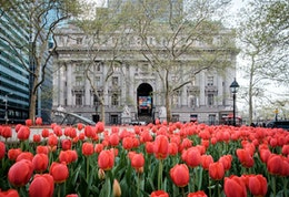Tulips on Bowling Green in New York, with the National Museum of the American Indian in the background.