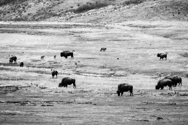 A wolf walking among a herd of bison and their red dogs in the Lamar Valley.