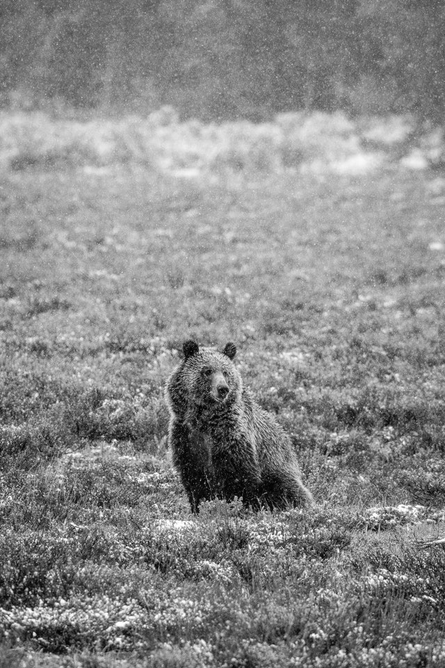 A grizzly bear sitting in sage brush while it snows.