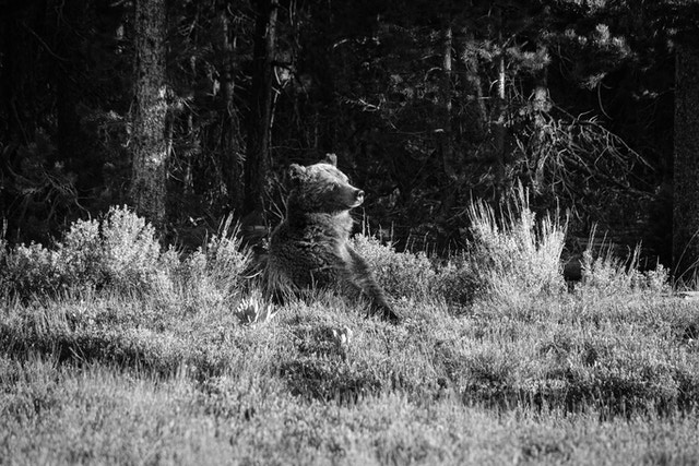 A female grizzly sitting on the sage brush near Pilgrim Creek, looking off to the side.