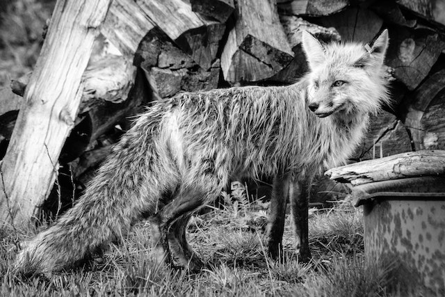 A wet red fox, standing in front of a pile of firewood.