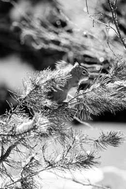 A squirrel standing on a branch of a pine tree on the trail leading towards Taggart Lake.