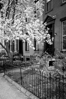 A blooming cherry tree in front of a row house in Capitol Hill.