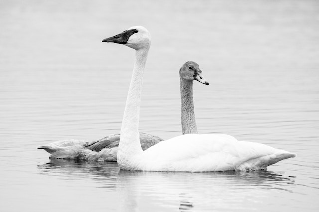 Two trumpeter swan swimming on Glen Lake. The one in the background is a gray-colored juvenile.