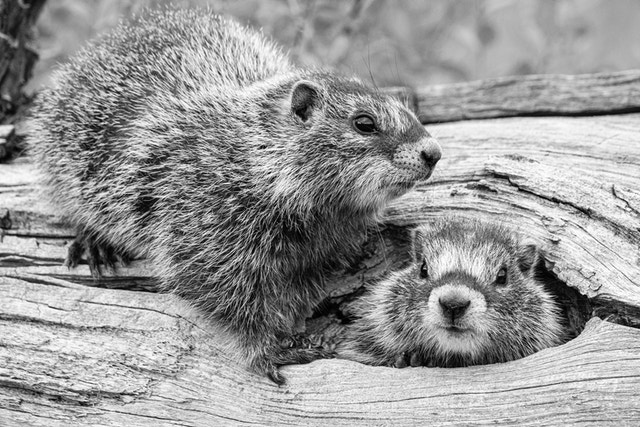 Two marmots on a fallen tree. The one on the right is poking its head through a hole, and the one on the left is standing just outside the hole.