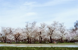 Cherry blossoms at Lower Senate Park.