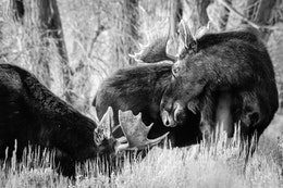 Two young bull moose standing next to each other. The one on the left is heads down eating some brush, the one on the right is looking over his shoulder.