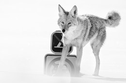A coyote peeing on a no parking and no camping sign while looking straight at the camera.