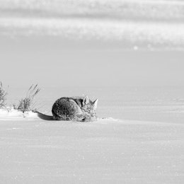 A coyote curled up on the snow at Antelope Flats, sleeping.