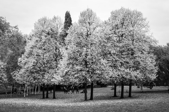 Trees in Hyde Park, London.