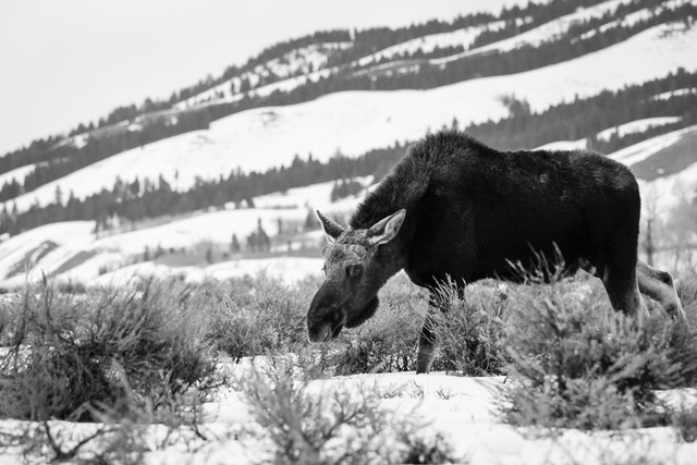 A bull moose browsing the sage brush at Grand Teton National Park.