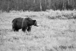 A big male grizzly standing in the brush near Pilgrim Creek Road.