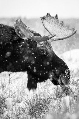 A bull moose standing in the brush at Antelope Flats while it snows.