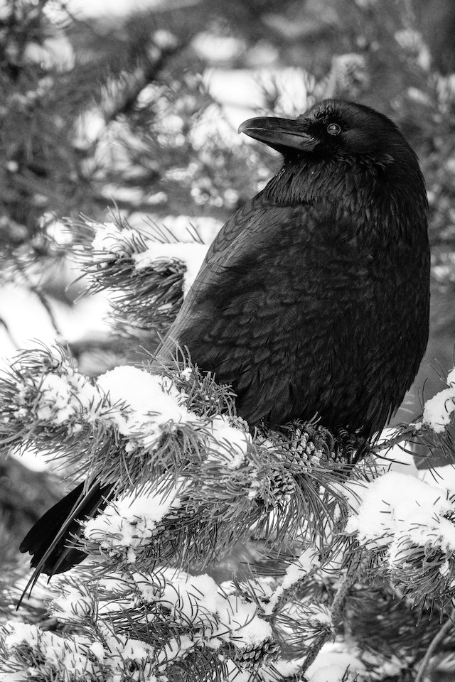 A raven sitting in a snow-covered branch of a pine tree.