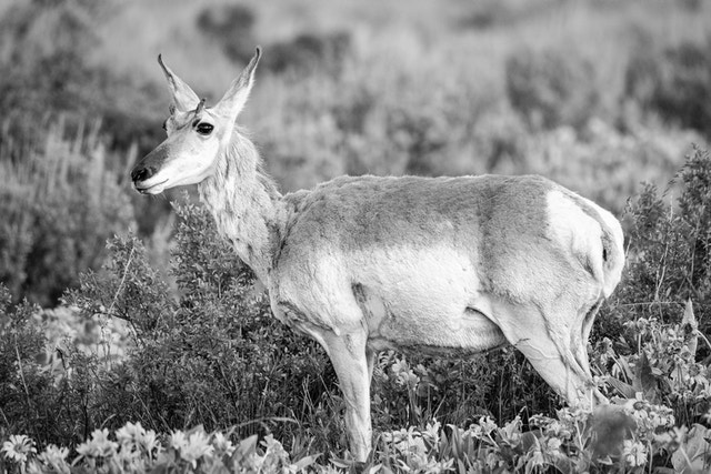 A young male pronghorn, with his horns barely starting to grow, standing among flowers at Antelope Flats.