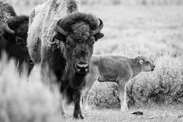 A red dog standing next to two adult bison.